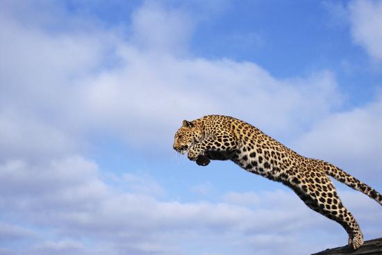 Leopard Jumping-DLILLC-Photographic Print