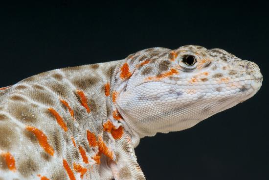 Leopard Lizard / Gambelia Wislizenii-Matthijs Kuijpers-Photographic Print