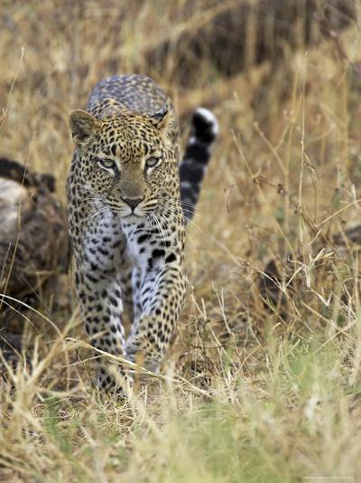 Leopard (Panthera Pardus) Approaching, Samburu Game Reserve, Kenya, East Africa, Africa-James Hager-Photographic Print