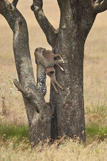 Leopard (Panthera Pardus) Carrying a Days-Old Blue Wildebeest (Brindled Gnu)Calf Up a Tree-James Hager-Photographic Print