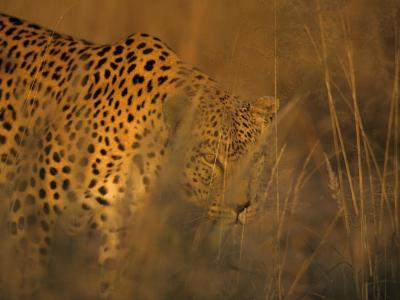 Leopard, Panthera Pardus, Duesternbrook Private Game Reserve, Windhoek, Namibia, Africa-Thorsten Milse-Photographic Print