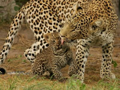 Leopard, Panthera Pardus, Grooming Her Cub-Beverly Joubert-Photographic Print