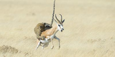 Leopard (Panthera Pardus) Hunting Springbok (Antidorcas Marsupialis) Etosha-Wim van den Heever-Photographic Print