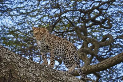 Leopard (Panthera Pardus) in a Tree-James Hager-Photographic Print
