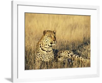 Leopard, Panthera Pardus, in Captivity, Namibia, Africa-Ann & Steve Toon-Framed Photographic Print