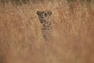 Leopard (Panthera Pardus) in Tall Grass, Kruger National Park, South Africa, Africa-James Hager-Photographic Print