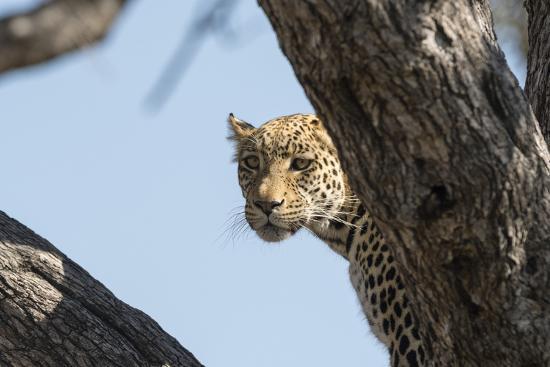 Leopard (Panthera pardus), Khwai Conservation Area, Okavango Delta, Botswana, Africa-Sergio Pitamitz-Photographic Print