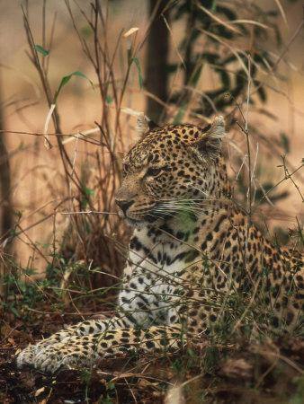 https://imgc.artprintimages.com/img/print/leopard-panthera-pardus-londolozi-game-reserve_u-l-pxyt6p0.jpg?p=0