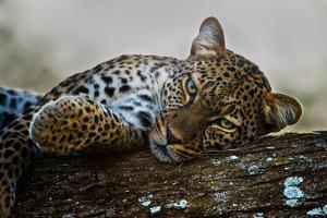 Leopard (Panthera Pardus) Lying on a Tree, Ndutu, Ngorongoro Conservation Area, Tanzania