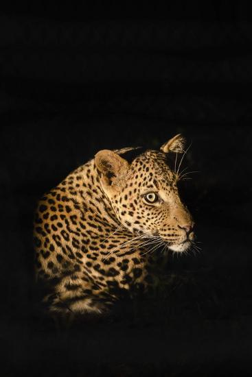 Leopard (Panthera Pardus), Madikwe Game Reserve, South Africa, Africa-Ann and Steve Toon-Photographic Print