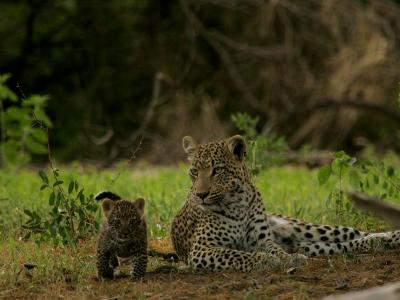 Leopard (Panthera Pardus) Mother and Cub-Beverly Joubert-Photographic Print