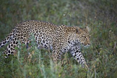 Leopard (Panthera Pardus), Ngorongoro Conservation Area, Serengeti, Tanzania, East Africa, Africa-James Hager-Photographic Print