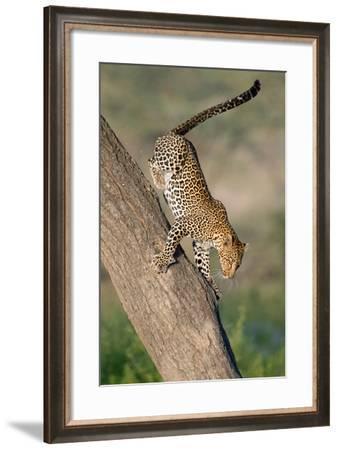 Leopard (Panthera pardus) on tree, Ndutu, Ngorongoro Conservation Area, Tanzania--Framed Photographic Print