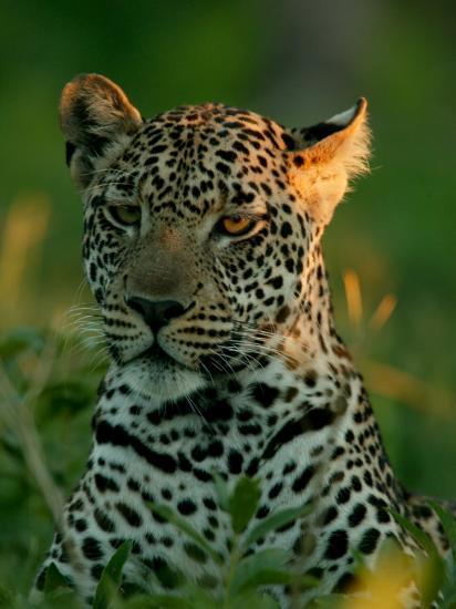 Leopard, Panthera Pardus, Resting in the Grass, Mombo, Okavango Delta, Botswana-Beverly Joubert-Photographic Print