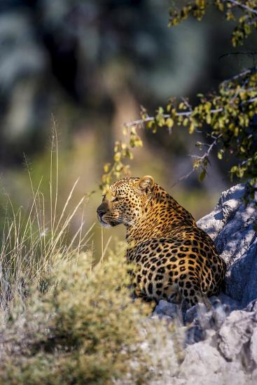 Leopard (Panthera Pardus) Resting on a Termite Mound, Moremi, Okavango Delta, Botswana, Africa-Andrew Sproule-Photographic Print