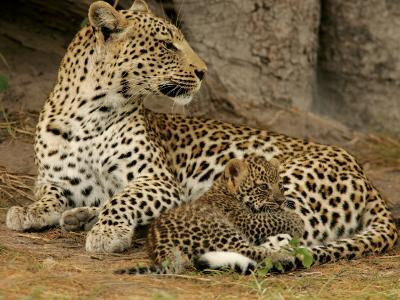 Leopard, Panthera Pardus, Resting with Her Cub-Beverly Joubert-Photographic Print