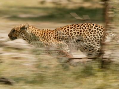 Leopard, Panthera Pardus, Running Through the Woods-Beverly Joubert-Photographic Print