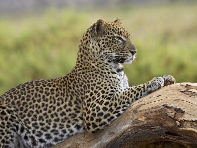 Leopard (Panthera Pardus), Samburu National Reserve, Kenya, East Africa, Africa-James Hager-Photographic Print