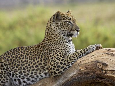 https://imgc.artprintimages.com/img/print/leopard-panthera-pardus-samburu-national-reserve-kenya-east-africa-africa_u-l-p9frsi0.jpg?p=0