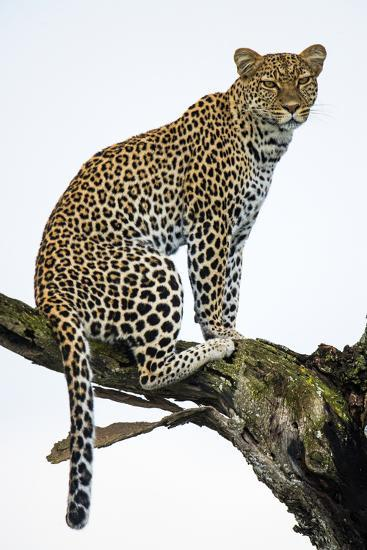 Leopard (Panthera Pardus) Sitting on a Tree, Ndutu, Ngorongoro Conservation Area, Tanzania--Photographic Print