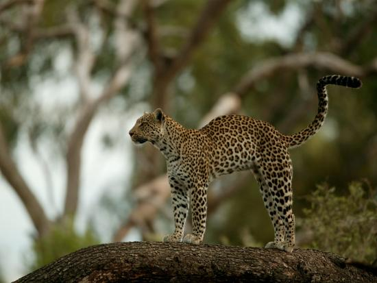 Leopard (Panthera Pardus) Stands on a Tree Branch-Beverly Joubert-Photographic Print