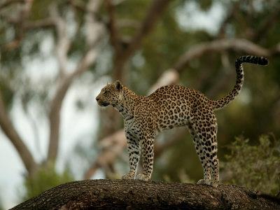 https://imgc.artprintimages.com/img/print/leopard-panthera-pardus-stands-on-a-tree-branch_u-l-p8d3is0.jpg?p=0
