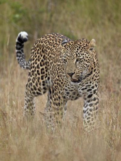 Leopard (Panthera Pardus) Walking Through Dry Grass-James Hager-Photographic Print
