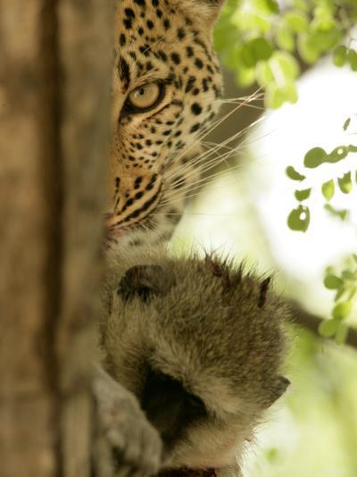 Leopard (Panthera Pardus) with Kill-Beverly Joubert-Photographic Print