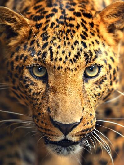 Leopard Portrait-Eduard Kyslynskyy-Photographic Print