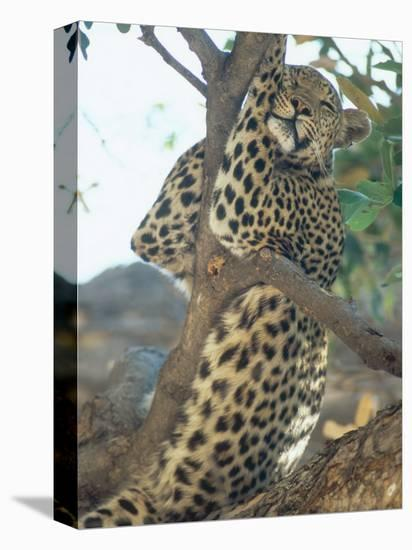 Leopard, Resting in Tree During Heat of the Day, Botswana-Richard Packwood-Stretched Canvas Print