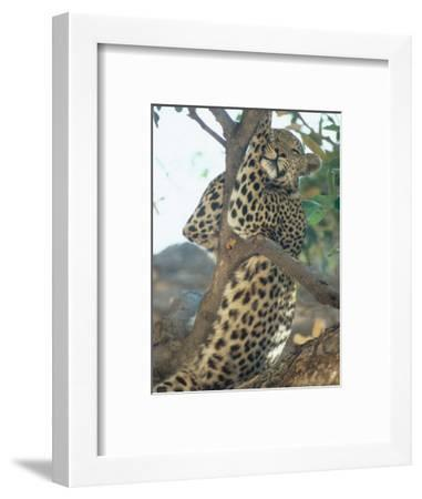 Leopard, Resting in Tree During Heat of the Day, Botswana-Richard Packwood-Framed Photographic Print