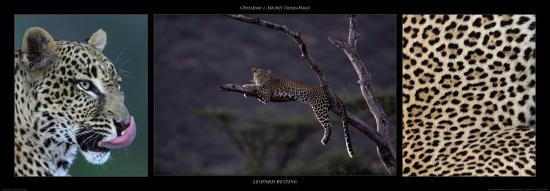 Leopard Resting-Michel & Christine Denis-Huot-Art Print
