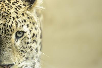 Leopard Sad Eyes Captivity close Up-stefano pellicciari-Photographic Print