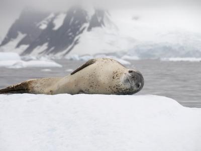 Leopard Seal on Ice, Near Yalour Island, Antarctic Peninsula, Antarctica, Polar Regions-Robert Harding-Photographic Print