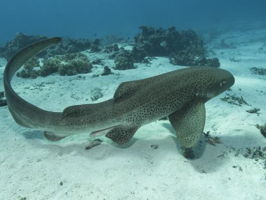 Leopard Shark, Male Swimming Over Ocean Floor, New Caledonia-Tobias Bernhard-Photographic Print