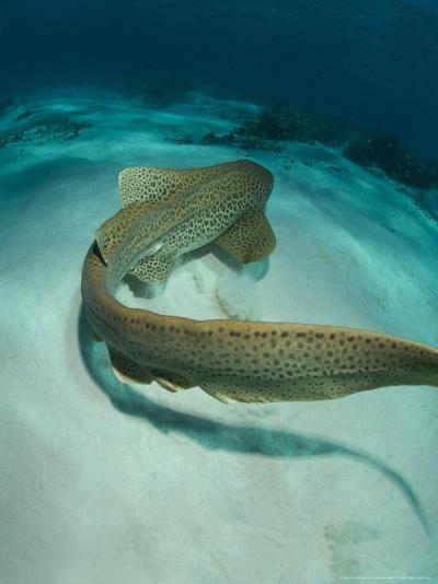 Leopard Shark, Swimming Away Over Sand Bottom with Coral Rubble, New Caledonia-Tobias Bernhard-Photographic Print
