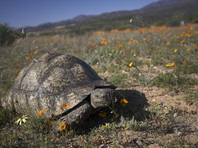 Leopard Tortoise, Geochelone Pardalis, in Namaqua National Park, Northern Cape, South Africa-Steve & Ann Toon-Photographic Print