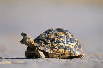 https://imgc.artprintimages.com/img/print/leopard-tortoise-with-open-mouth_u-l-pzmv8u0.jpg?p=0