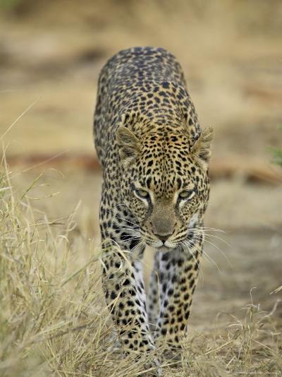 Leopard Walking Straight Towards the Camera, Samburu National Reserve, Kenya, East Africa, Africa-James Hager-Photographic Print