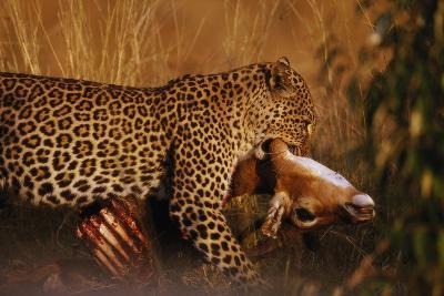 Leopard with Impala Kill--Photographic Print