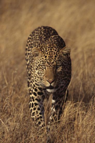 Leopard-DLILLC-Photographic Print