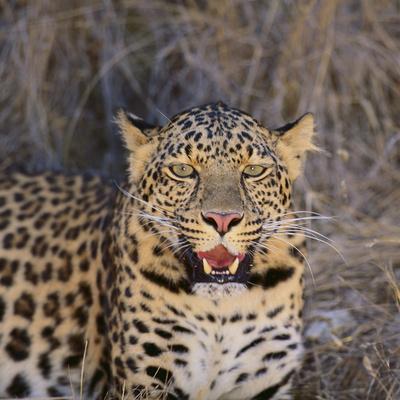 https://imgc.artprintimages.com/img/print/leopard_u-l-pzvmc30.jpg?p=0