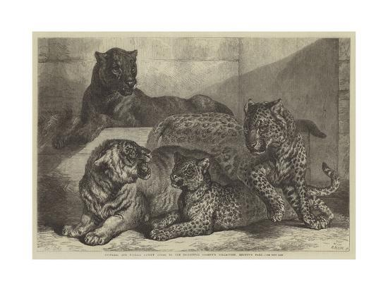 Leopards and Tigress Lately Added to the Zoological Society's Collection, Regent's Park-Samuel John Carter-Giclee Print