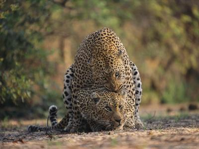 Leopards Mate Hundreds of Times during the Females Week-Long Estrus-Kim Wolhuter-Photographic Print