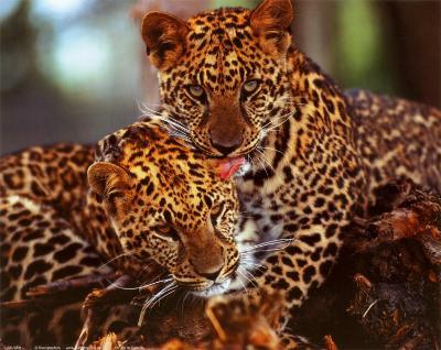 Leopards--Art Print