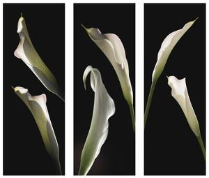 Calla Lilies by Lependorf-Shire