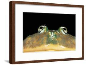 Lepidobatrachus Laevis (Budgett's Frog, Escuerzo De Agua)-Paul Starosta-Framed Photographic Print