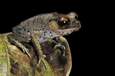 Leptobrachium Hasseltii (Hasselt's Toad, Tschudi's Frog)-Paul Starosta-Photographic Print