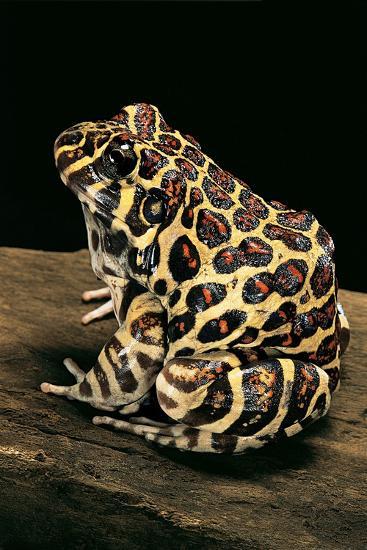 Leptodactylus Laticeps (Santa Fe Frog)-Paul Starosta-Photographic Print