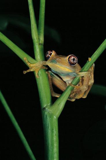 Leptopelis Barbouri (Barbour's Tree Frog)-Paul Starosta-Photographic Print